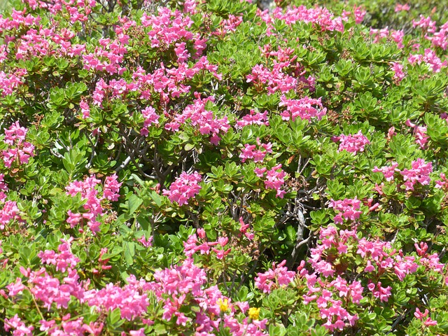 Ciliated Alpenrose, Flowers, Pink