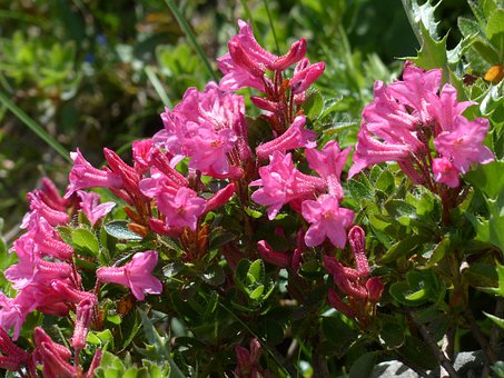 Ciliated Alpenrose, Flowers, Alpine Roses, Pink