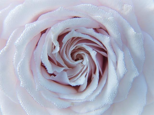 Rose, White, Pink, Blossom, Bloom, Close Up, Dew
