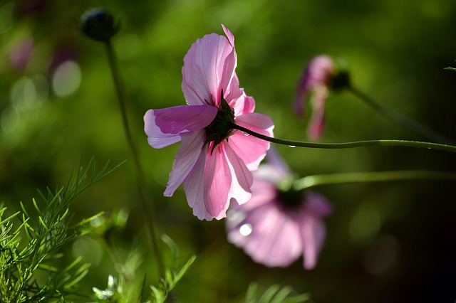 Pink Cosmos, Blossom, Nature