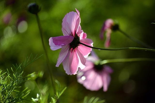 Pink Cosmos, Blossom, Nature