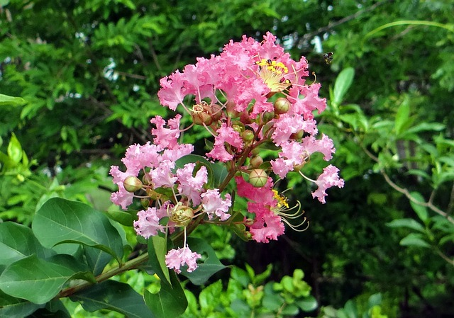 Crape Myrtle, Flower, Pink, Saoni, Lagerstroemia Indica
