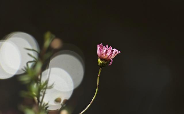 Daisy, Flower, Bokeh, Plant, Nature, Summer, Pink Daisy