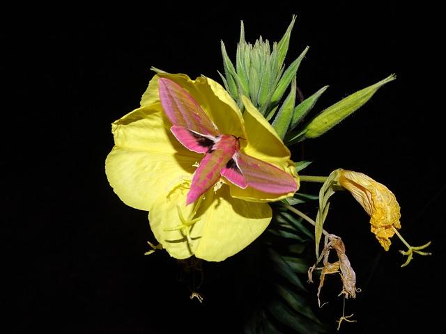 Pink Evening Primrose, Medium Wine Enthusiast, Moth