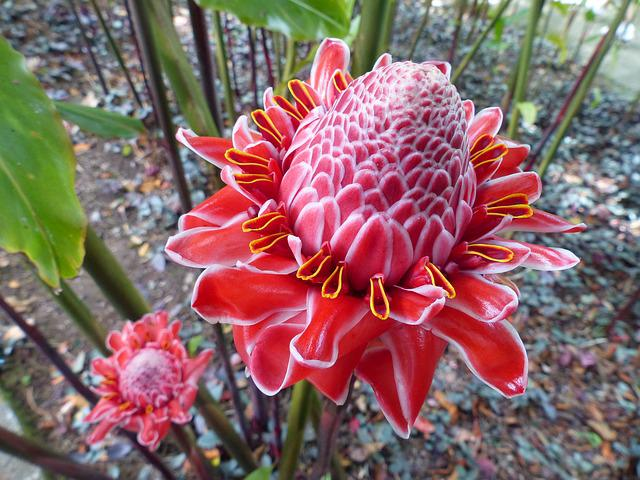 Pink, Porcelain, Flora, Exotic, Martinique, West Indies