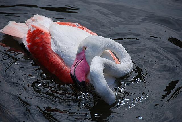 Flamingo, Water Bird, Zoo, Pink Flamingo, Water