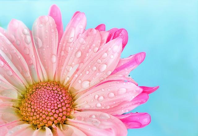 Flower, Nature, Flora, Summer, Petal, Daisy, Pink