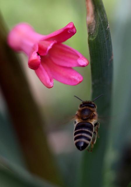 Hyacinth, Bee, Flight, Pollination, Pink, Flower