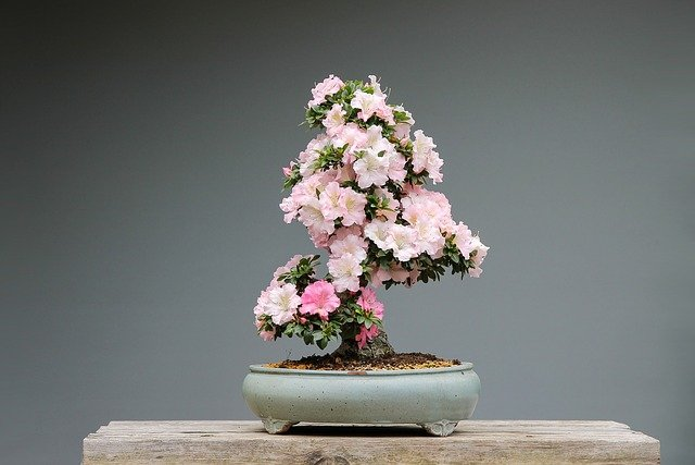 Bonsai, Azaleas, Rhododendron, Pink Flower, Wood, Plant