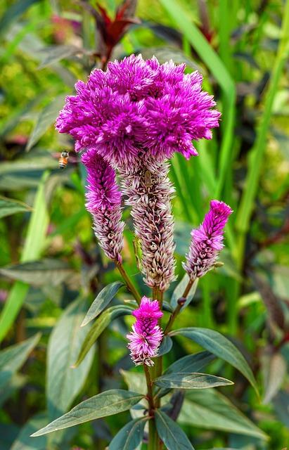 Cockscomb, Celosia Cristata, Pink, Nature, Flower