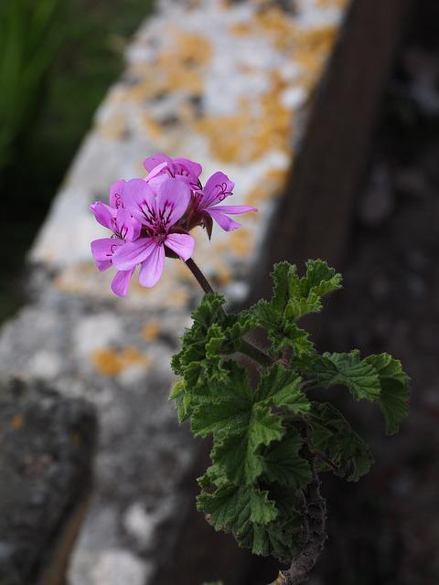 Geranium, Blossom, Bloom, Flower, Pink