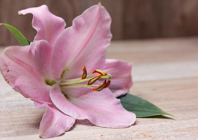 Lily, Flower, Blossom, Bloom, Plant, Pink, Violet