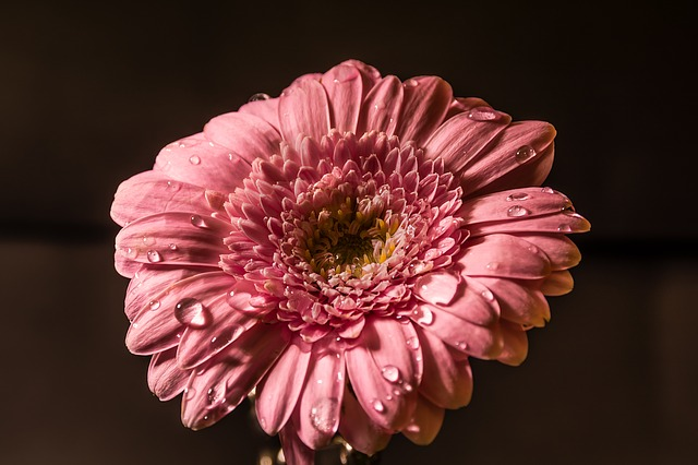 Flower, Pink, Water, Drops, Pink Flowers, Nature