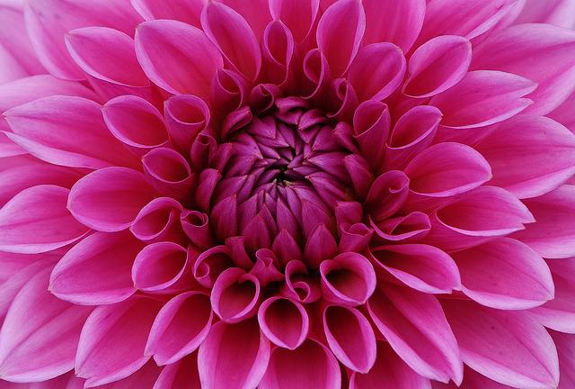 Dahlia, Flower, Petals, Pink Flower, Pink Petals, Bloom