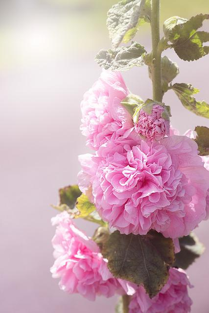 Stock Rose, Pink, Pink Hollyhock, Flower, Pink Flower