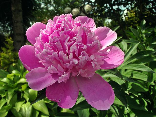 Flower, Peony, Pink, Garden, Nature, Plant, Spring
