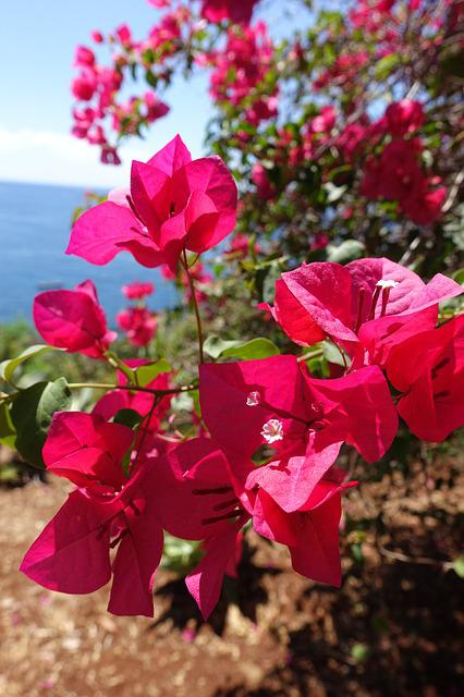 Flower, Madeira, Portugal, Nature, Spring, Pink Flower