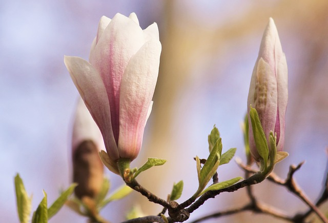 Magnolia, Blossom, Bloom, Spring, Pink, Flower Tree