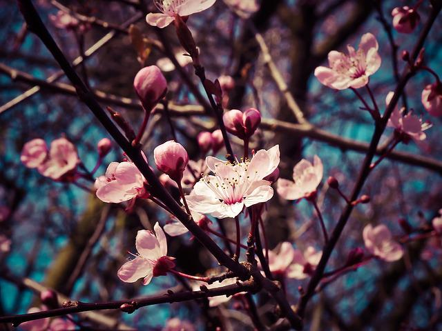Almond Blossoms, Flowers, Blooming, Pink Flowers
