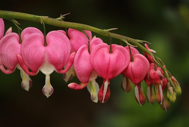 Bleeding Hearts, Lamprocapnos Spectabilis, Pink Flowers