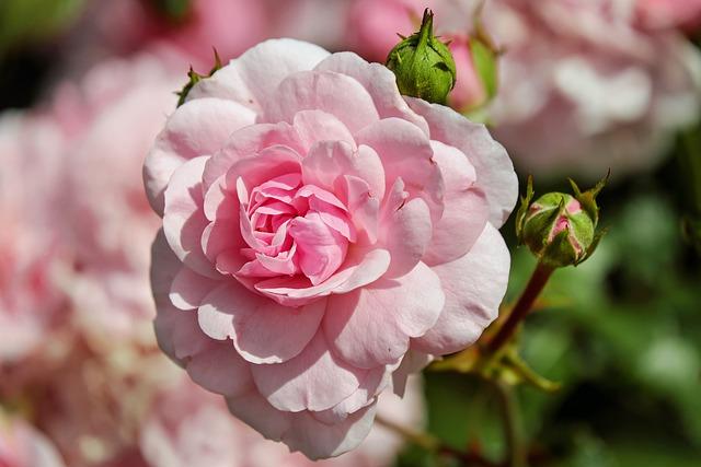 Rose, Flower, Blossom, Bloom, Flowers, Pink, Summer