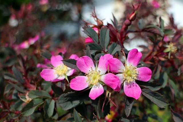 Wild Rose, Rose, Pink, Blossom, Bloom, Plant, Flowers