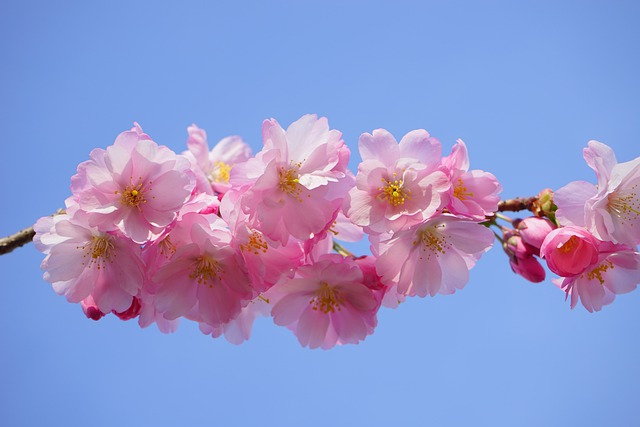 Japanese Cherry Trees, Flowers, Pink, Branch