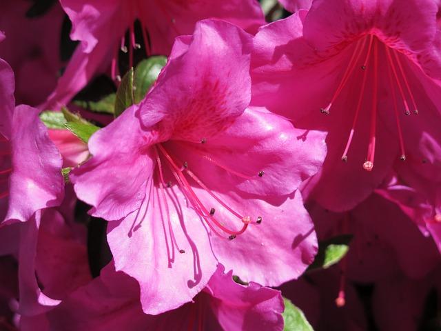 Rhododendrons, Park, Disneyland, Paris, Pink Flowers