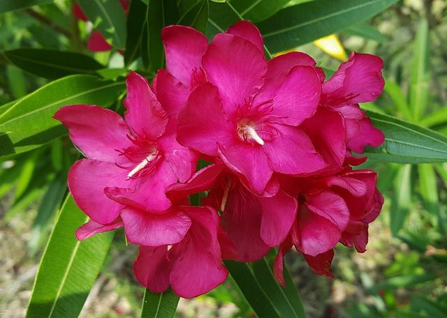 Flowers, Oleander, Petals, Floral, Pink Flowers, Pink