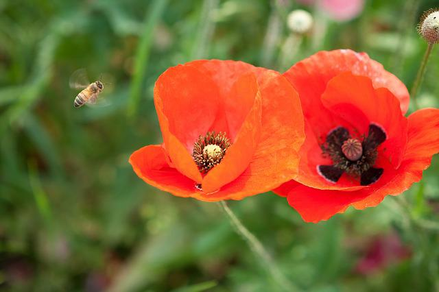 Bee, Poppy, Red Color, Flowers, Pink, Pink Flowers