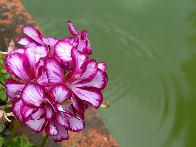 Flowers, Lilac, Pink Flowers, Water, Rose Flowers