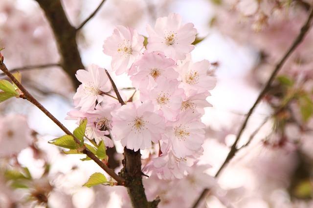Ornamental Cherry, Flowers, Pink, Tree, Spring, Branch