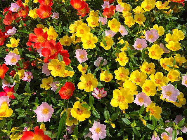 Portulaca, Keen, Flowers, Orange, Pink, Yellow, Mix