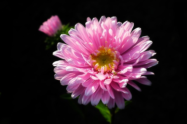 Flower, Aster, Pink, Garden, Summer, Nature, Macro