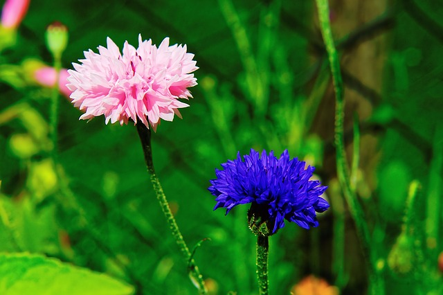 Garden, Flowers, Cornflowers, Nature, Pink, Blue