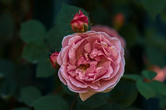 Pink, Garden, Nature, Color Pink, Summer Garden, Botany