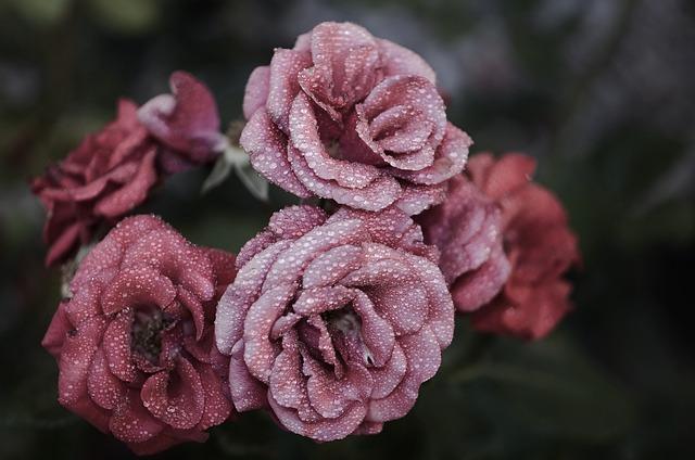 Rose, Flower, Pink, Floral, Nature, Blossom, Garden
