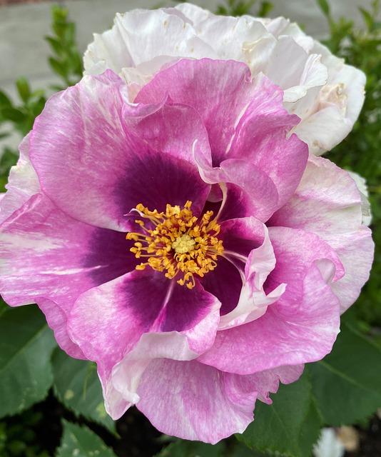 Rose, White, Pink Green, Bloom, Flower, Garden, Petals