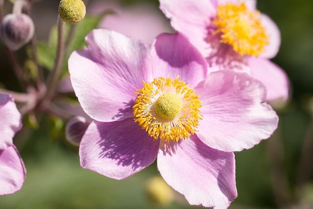 Anemone, Pink, Fall Anemone, Hahnenfußgewächs, Flower