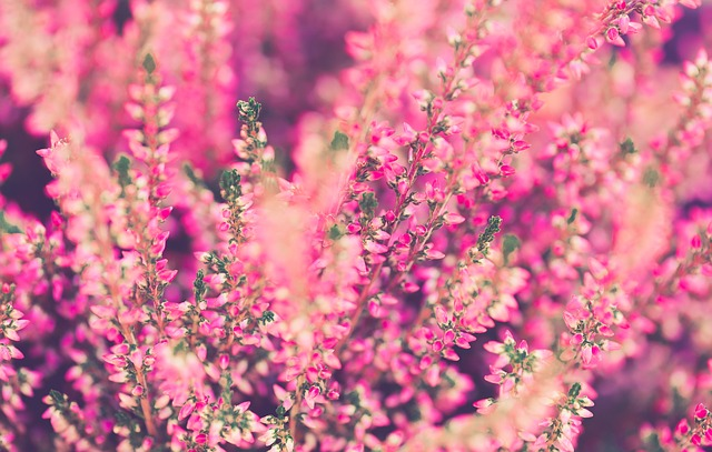 Heather, Flowers, Pink, Plant, Garden, Close, Nature