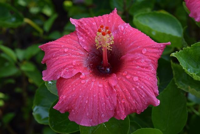 Hibiscus Rosa-sinensis, Flower, Pink