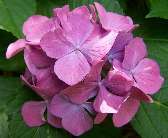 Pink Hydrangea, Garden, Summer Flower