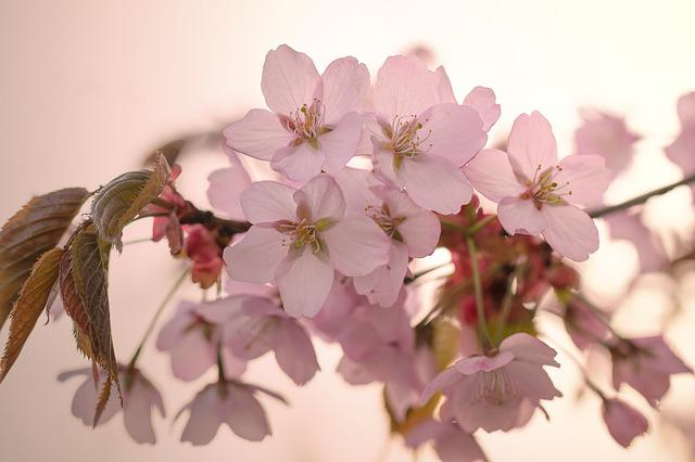 Nature, Cherry Tree, Inflorescence, Pink