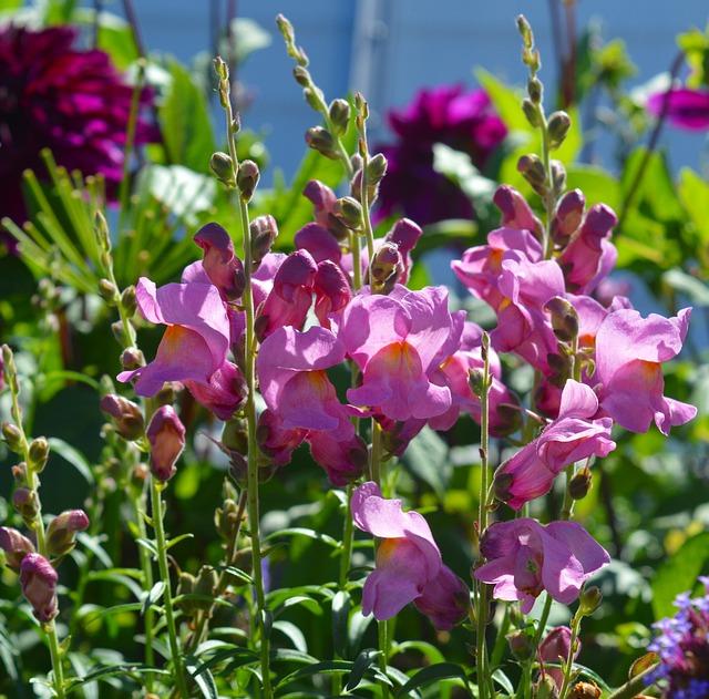Loewenmaeulchen, Flower, Flowers, Pink, Pink Flowers