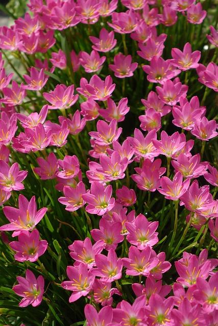 Onion Blue, Lycoris Radiata Section, Pink