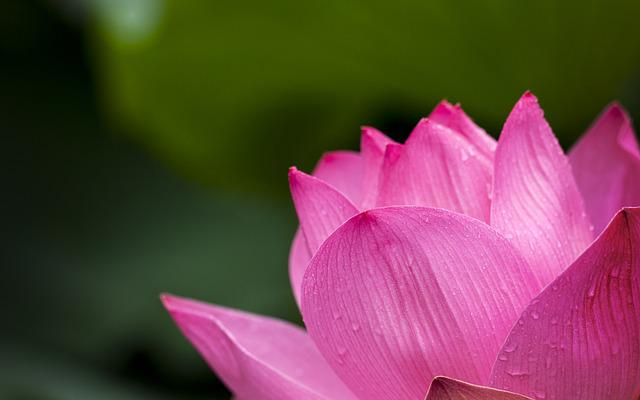 Lotus, Pink, Nature, Flowers