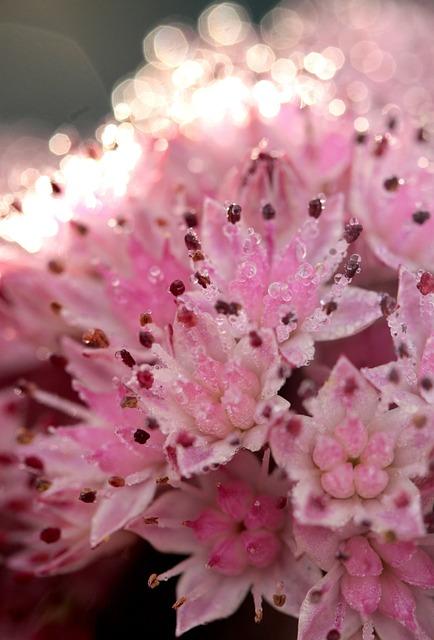 Sedum, Flower, Pink, Nature, Plant, Garden, Blossom
