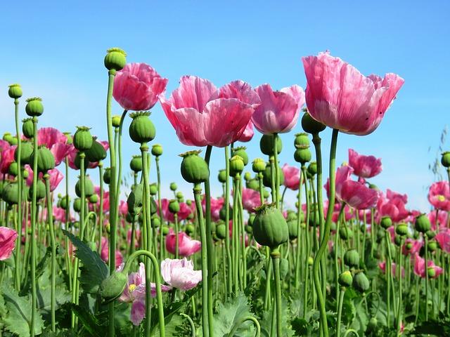 Poppy, Opium Poppy, Pink, Mohngewaechs, Poppy Capsule