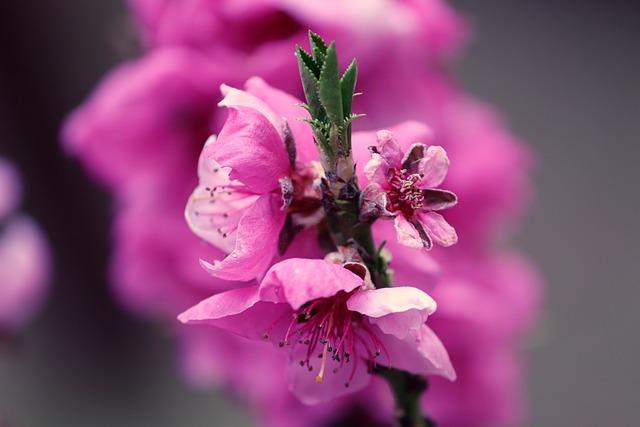 Peach Blossom, Prunus Persica, Peach Tree, Pink