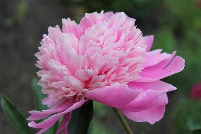 Peony, Flower, Pink Peony, Macro Photography, Plant